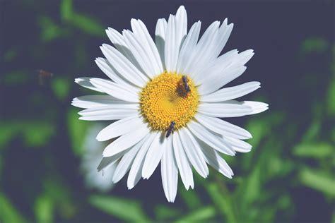 margherita fiore descrizione immagini fiore petalo estate botanica flora