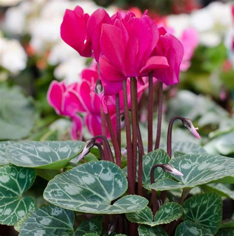 deer resistant laser cyclamen cyclamen bulbs for sale easy to grow bulbs