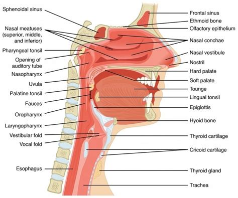 printable anatomy diagrams diagrams of the throat to print diagram site