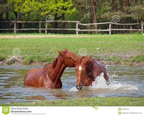 horse bathroom two sorrel horse bath in a pond stock photo image 52290775