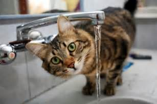 cat water faucet getting your cat to drink more water the pet product guru