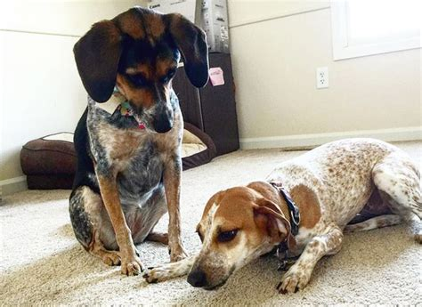 treeing walker coonhound puppy treeing walker coonhound breed information pictures characteristics facts