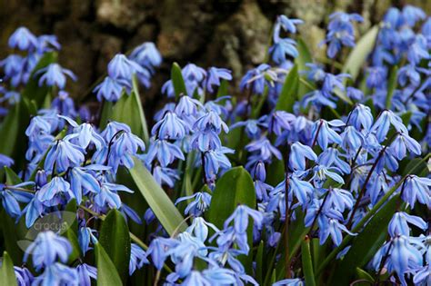 buy siberian squill bulbs scilla siberica delivery by