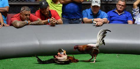 pelea de gallos en cupey san juan pr foto ang233lica allen peleas de espuelazo del congreso a las galleras