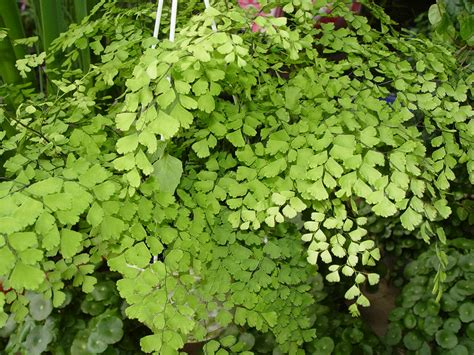 house plant maidenhair fern buy it now