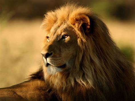 imagenes de leones rugientes so 241 ar con le 243 n