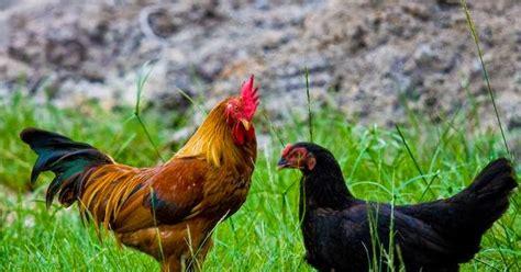 Bibit Ayam Potong Jawa Timur cara beternak ayam kung pedaging lumajang joper zone s