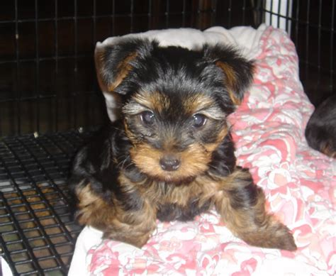 yorkie puppies in ohio awesome yorkie puppies for adoption northeast ohio dogs for sale puppies for sale