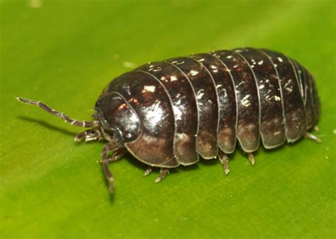 pill pugs pill bug armadillidium vulgare