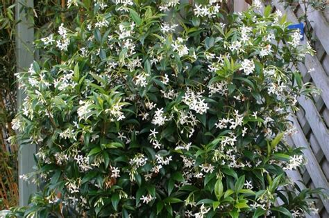 Evergreen Climbing Plants For Trellis clematis armandii evergreen vine option for screening