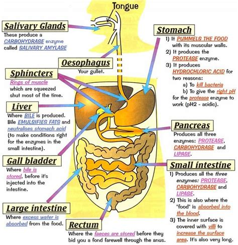 diagram of the digestive system human digestive system diagrams diagram site
