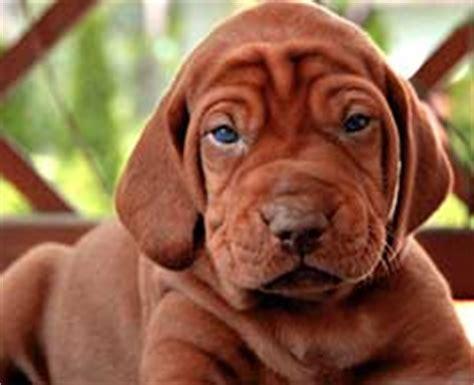 how much are vizsla puppies vizsla breed information