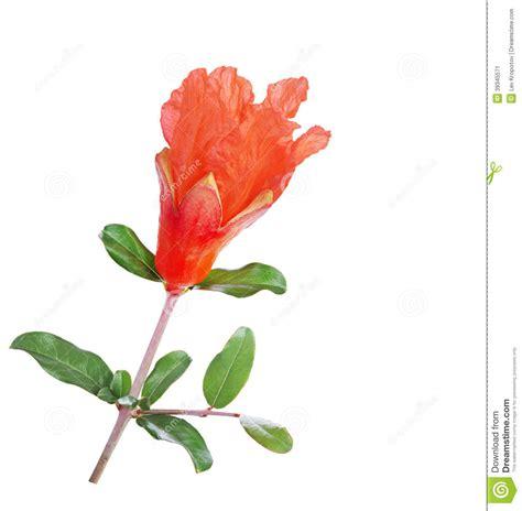 fiore melograno fiore melograno fotografia stock immagine 39345571