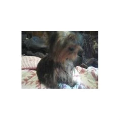 yorkies sale chattanooga tn small fur babies terrier breeder in riceville tennessee listing id 13502
