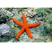 Tipos De Estrellas Mar Para Tu Acuario