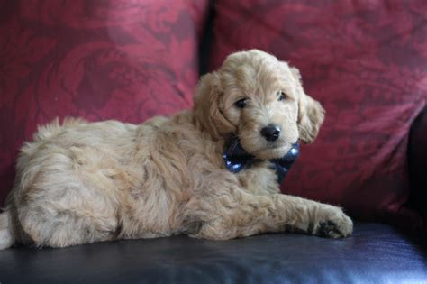goldendoodle puppy ny goldendoodle puppy for sale brown collar boy quot rhythm