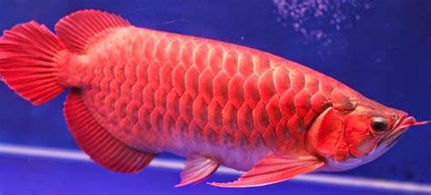 Perkutut Teratai Ikan Arwana 7 hewan ini jika dipelihara akan membawa keberuntungan