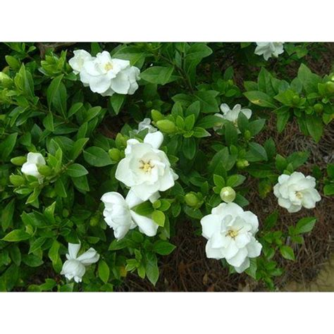 gardenia delivery 200mm florida gardenia bunnings warehouse