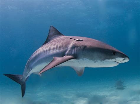 file tiger shark jpg