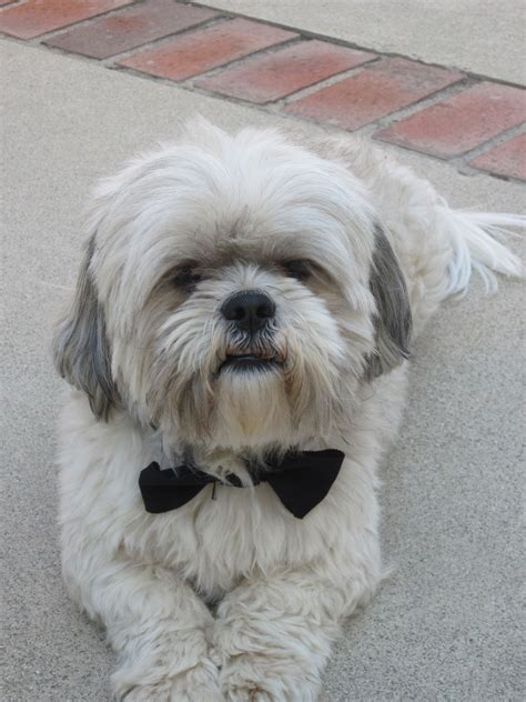 what is shih tzu favorite food review of my a website dedicated to our best friends use the link above to