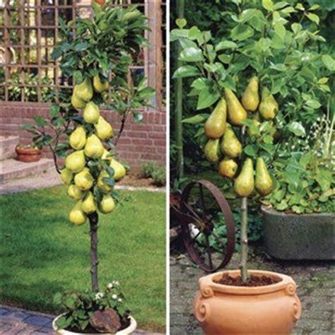 Pohon Cherry By One Home sertifikal箟 bodur yar箟 bodur klasik meyve fidanlar箟