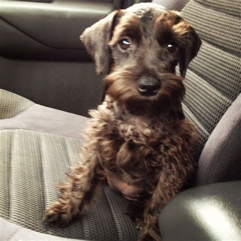 brown schnauzer puppies for sale 17 best images about schnauzers on schnauzer puppy mini schnauzer puppies