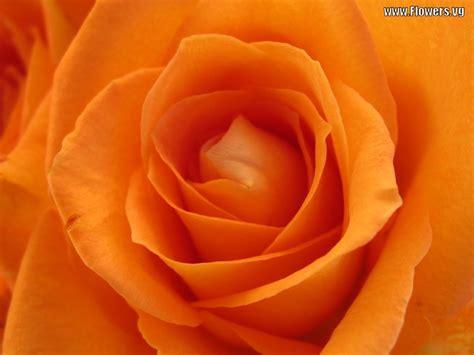 wallpaper bunga peach my background blog orange flower background