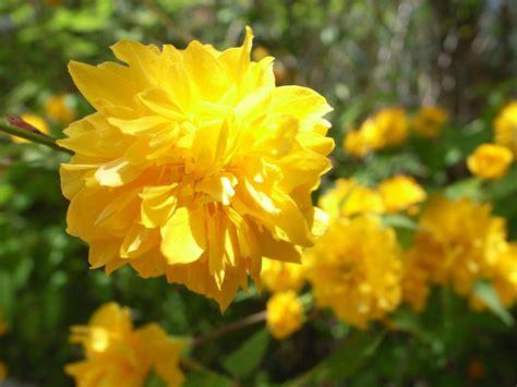 flowering shrubs  early spring