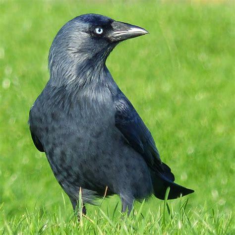birding for pleasure wild bird wednesday jackdaw