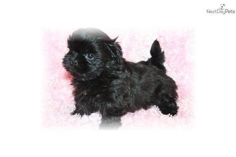 imperial shih tzu weight chart shih tzu puppy for sale near dallas fort worth 12e09841 4801