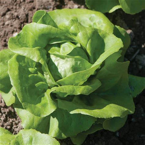 rex pelleted lettuce seed   johnny's selected seeds