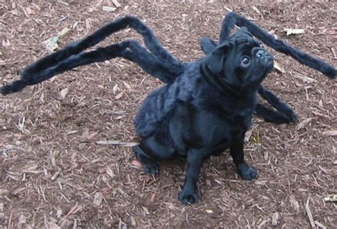 spider pug costume gus the tarantula pug gus the scary black pug his in taran flickr