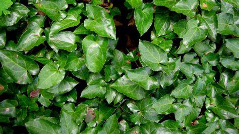 vasodilatatori alimenti piante vasodilatatori ginkgo biloba propriet