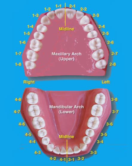 teeth diagram with numbers tooth numbering system a best and accurate system of