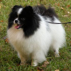 parti pomeranian pictures shafran sheeny quot pictures of pomeranian parti color