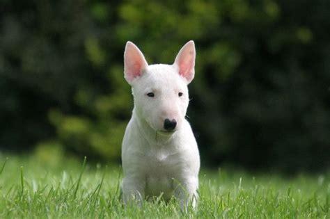 bull terrier puppies pa bull bull terrier puppies breed svenska bullterrierklubben