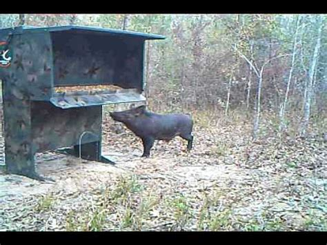 """wild boar hog confussed at the double """"d"""" deer feeder"""