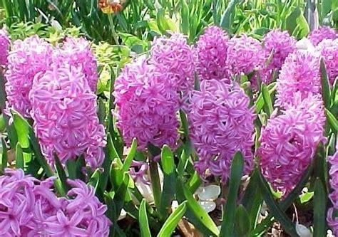 significato dei fiori giacinto giacinto significato significato fiori significato