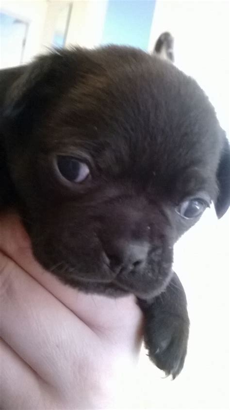 black pug chihuahua mix chug pug and chihuahua mix breeds picture