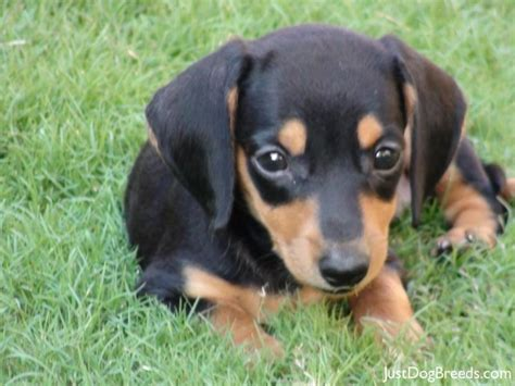 dachshund breed dachshund breed puppies breeds picture