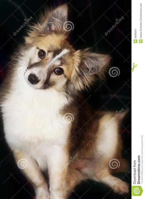 cutest mixed breed puppies mixed breed royalty free stock photography image 36585257