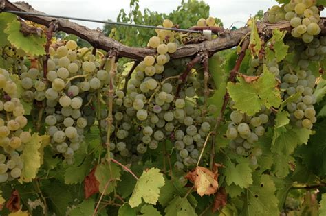 drought produces good wine fewer grapes in indiana news
