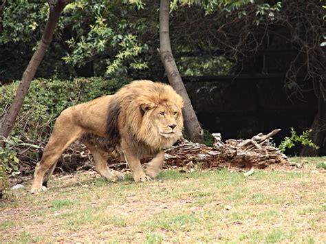 imagenes de leones bravos le 243 n africano