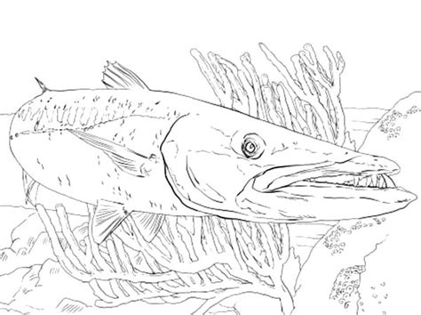 barracuda fish coloring page barracuda pages coloring pages