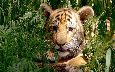 facts about the new year tiger tigers and humans tiger facts and information