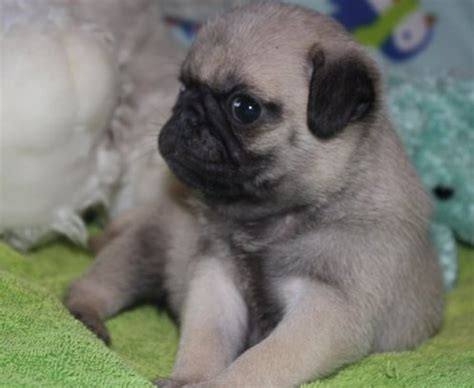 baby teacup pugs for sale teacup two baby 12 weeks and pug puppies for sale pets for sale in