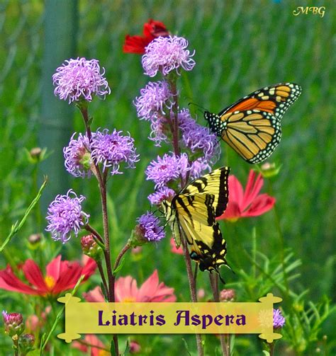 Butterfly Plants List Butterfly Flowers And Host Plant Ideas Butterfly Flower Garden