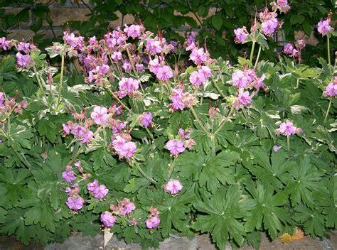 file geranium macrorrhizum cv1 jpg