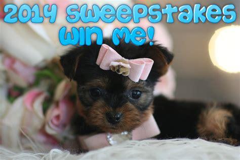 teacup miniature pinscher puppies for sale domain pinscher puppies for sale breeds picture