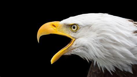wallpaper eagle bird  animals